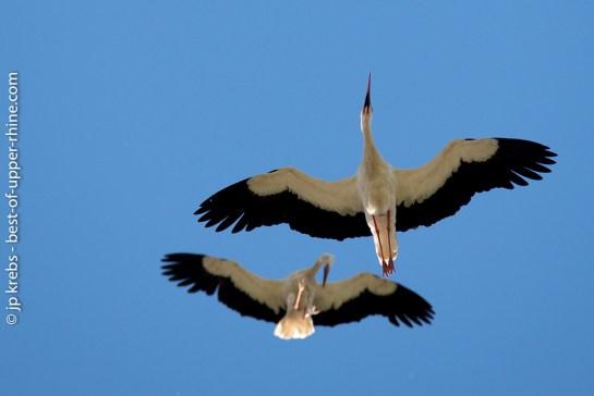 Couple de cigognes paradant en vol.