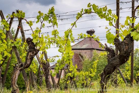 La cigogne, du haut de la tour du rempart, observe la vigne…