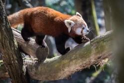 L'un des adorables pandas roux du parc animalier…