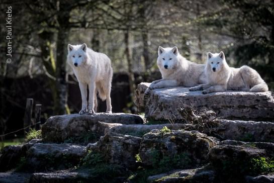 Loups blancs arctiques du Parc Animalier de Sainte-Croix