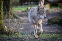 Avec la meute des loups gris du Parc Animalier de Sainte-Croix.