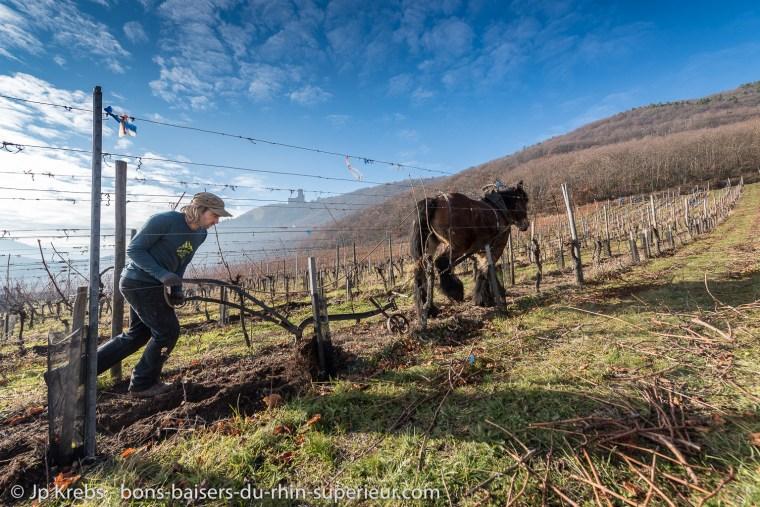 Le cheval est de retour dans les vignes bio