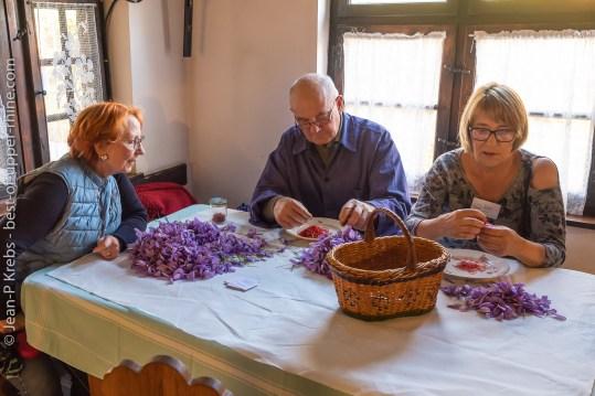 Autrefois, la culture du safran qui donne cette belle fleur mauve était courante en Alsace.