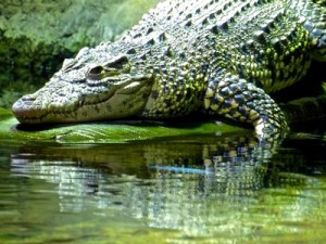 sea-life-aquarium-londres-crocodile-cuba