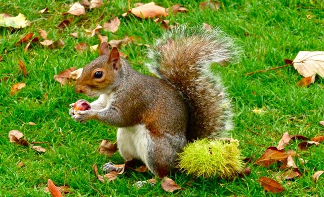 écureuil-londres