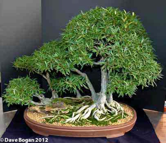 Dave's Ficus 005