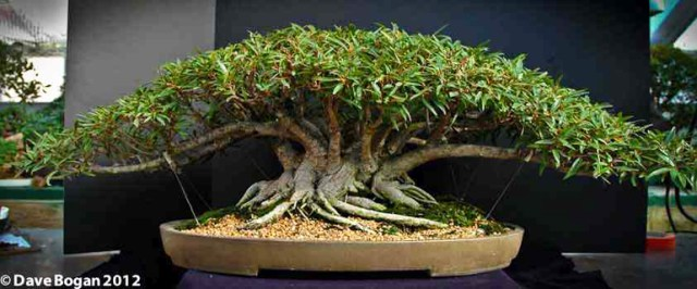 Dave's Ficus 007