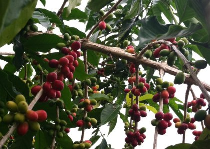 Bonsai Beans Coffee beans on tree