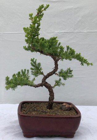 Karate Kid Bonsai Tree Logo : karate, bonsai, Juniper,