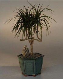 Dragon Tree Bonsai : dragon, bonsai, Dracena, Bonsai, Candelabra, Style(dracena, Marginata