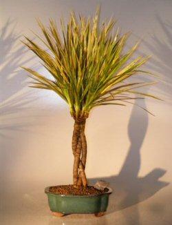 Dragon Tree Bonsai : dragon, bonsai, Dracena, Bonsai, Braided, Style(Dracena, Marginata)