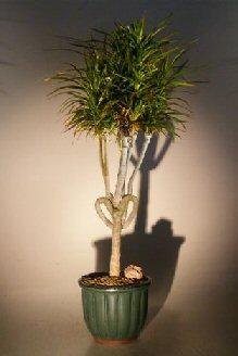 Dragon Tree Bonsai : dragon, bonsai, Dracena, Bonsai, TreeHeart, Shaped(Dracena, Marginata)