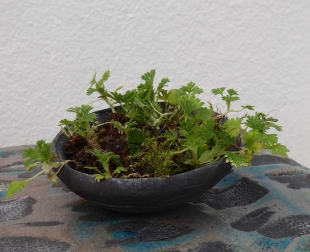shitakusa - geranium