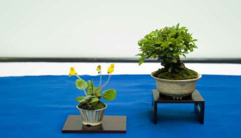 Chinese Cork Bark Elm, Mame-bonsai, Morten Albek
