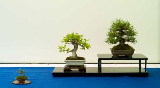 Best Shohin Bonsai Award winner 2013, Premna Japonica and Japanese Black Pine, Shohin-display, Torben Brenfeldt.