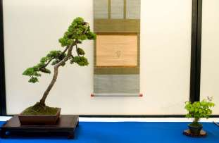 Award: Best Bonsai of the year 2013 by Morten Albek. Juniperus communis and accent - Lathyrus vernus.