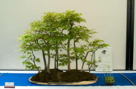 Runners up award 2013, Acer palmatum forest by Aase Wilberg.