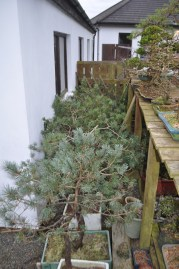 Last year's Scots Pine out of the tunnel