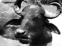 Water Buffalo, Udawalawe National Park, Sri Lanka