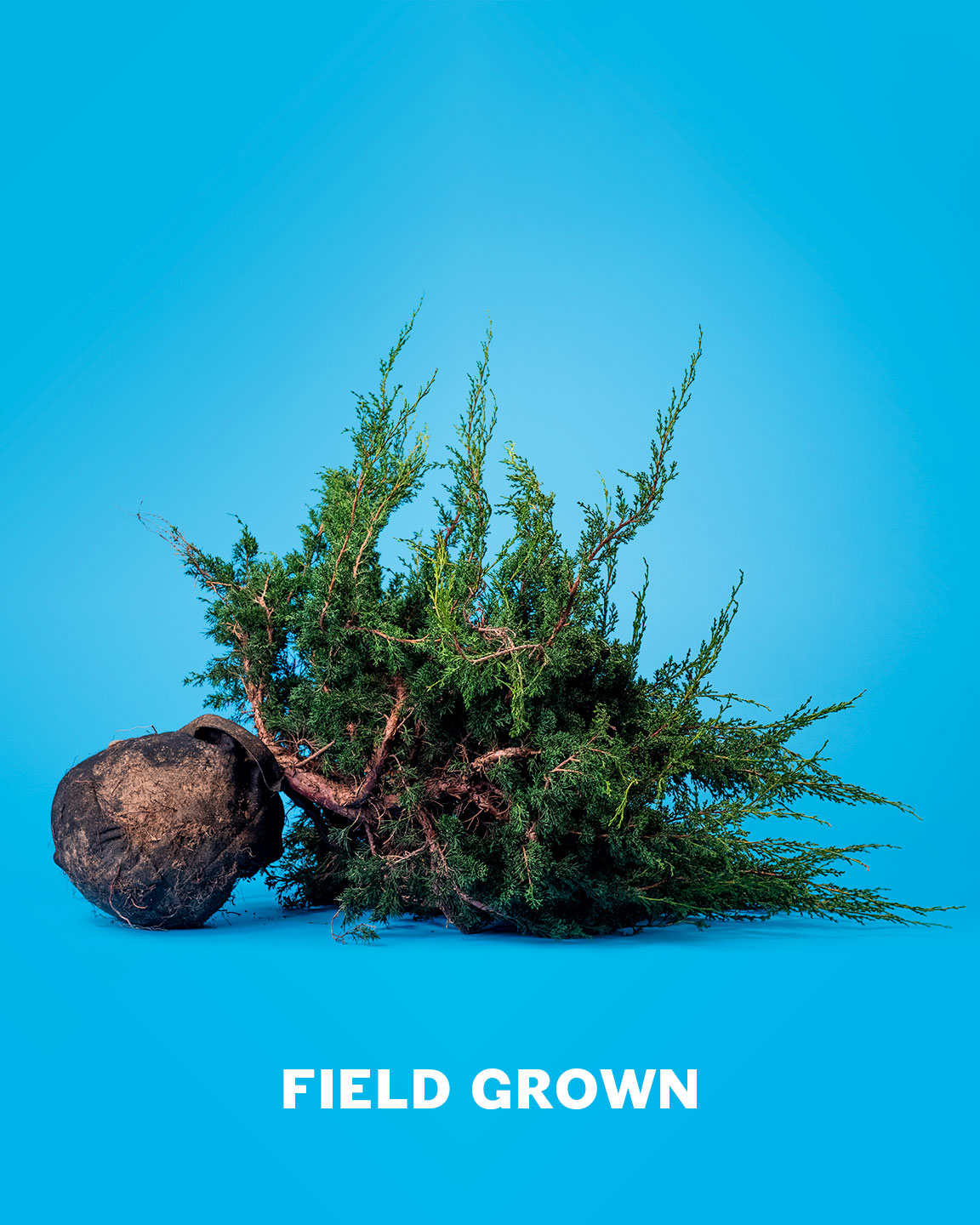 hight resolution of field grown bonsai material