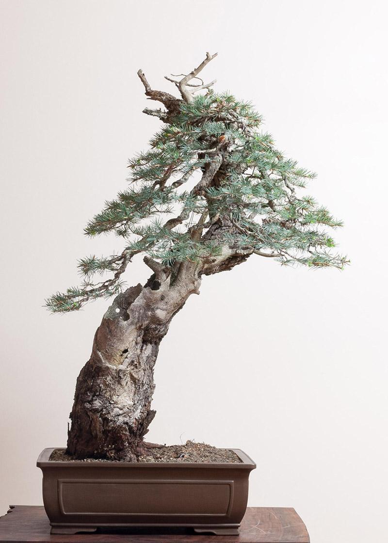 Douglas Fir Bonsai : douglas, bonsai, Douglas-fir, Bonsai, Mirai