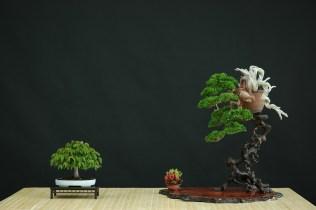 juniperus chin, zelkova