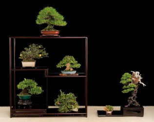 densiflora,acer burg.,chaenomeles,gardenia,pyracanta,juniperus chin.