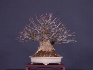 a.burgerianum