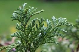 Conifer foliage 015