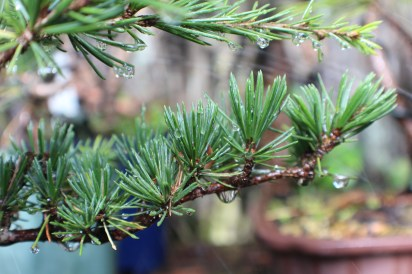 Conifer foliage 017