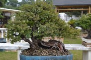 Sageretia thea, reclining style penjing