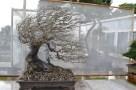 Bougainvillea glabra, windswept - Battu par le vent