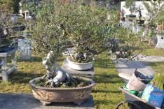 The first penjing I pruned at Qu Yi yuan, Ulmus parvifolia. Before - Le premier penjing que j'ai taillé au Jardin Qu Yi, Ulmus parvifolia .Avant