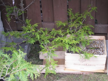 Thuja occidentalis, picked from an air layered branch(2010)- Thuja occidentalis, cueilli d'un marcottage(2010)