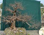 Ulmus parvifolia, before - Ulmus parvifolia, avant