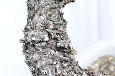Ancien bark - Écorce ancienne