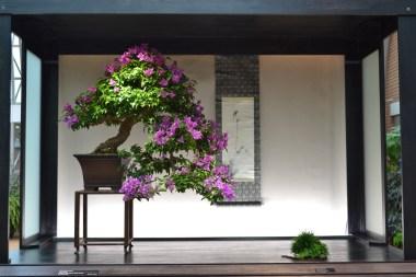Bougainvillea glabre 'Royal Purple'