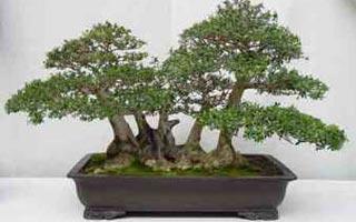 Resultado de imagen de Estilo balsa en olivos, bonsai