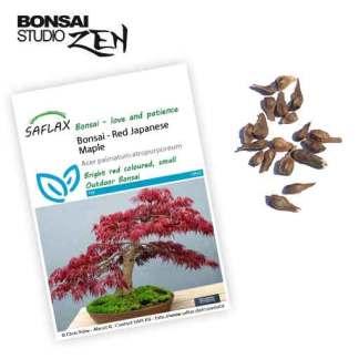 Acer palmatum 'Atropurpureum' zaden