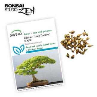 Acer buergerianum zaden