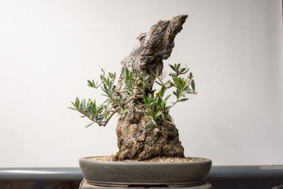 Wiring Olive Bonsai