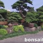 [羅漢松]與樹為伍(1)