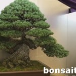 第37日本盆栽大觀展「天帝の松」