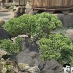 [附石真柏]植物順勢隨著石而生,隨時間而融合。 Rock with tree