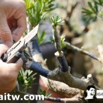 [晶鑽羅漢松]退掉舊枝條,新的枝芽開始了。
