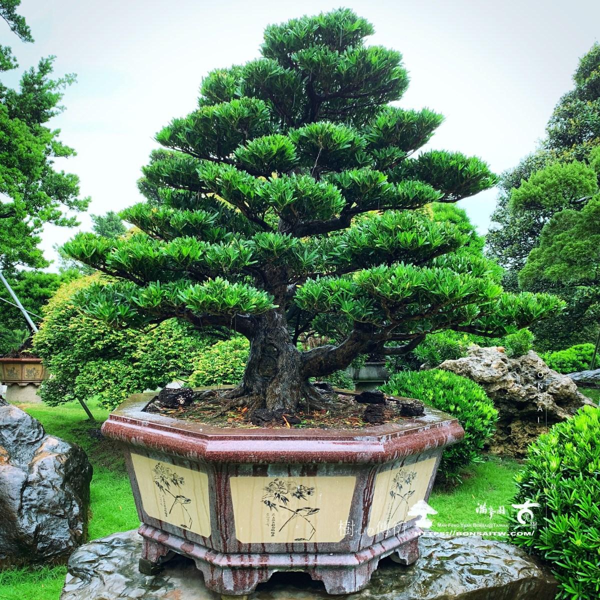 [羅漢松]大型盆栽