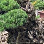 [附石真柏] 樹石共生之趣 Rock with tree