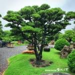 [羅漢松] 庭園樹.整理