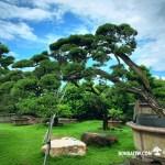 [真柏] 大型庭園樹.整理