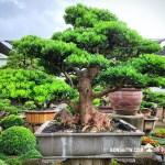 [羅漢松] 超大型盆栽.整理